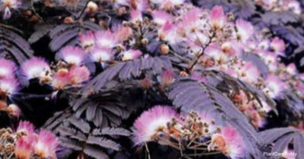 Attractive chocolate mimosa tree