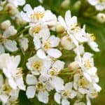 Evergreen shrub white blossoms Choisya Mexican orange blossom flower evergreen shrub, ,