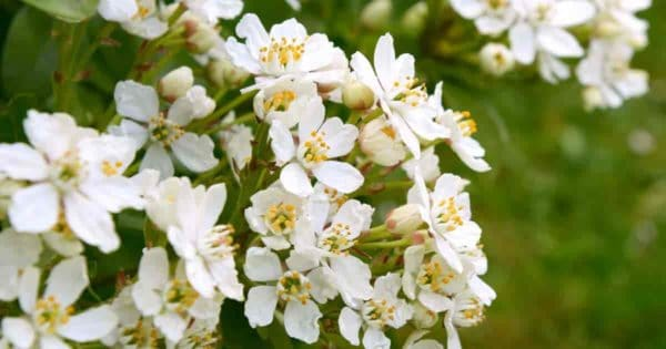 Evergreen shrub white blossoms Choisya Mexican orange blossom flower evergreen shrub, ,