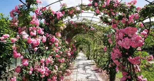 choosing roses for the garden