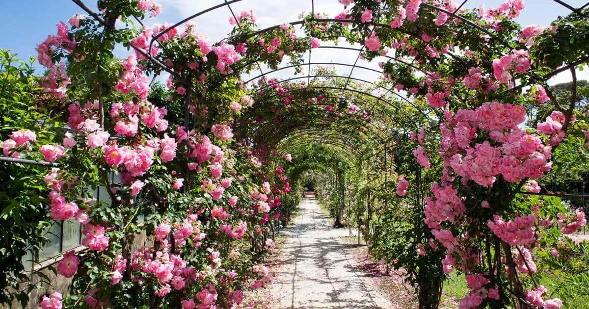 Landscaping A Rose Garden Choosing Garden Roses For Your