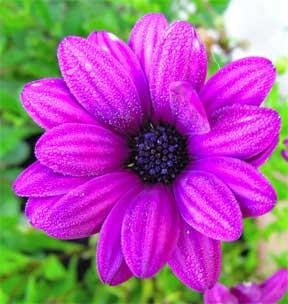 chrysanthemum-purple-close