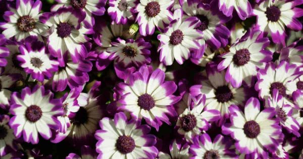 Purple with white center Cineraria flowers