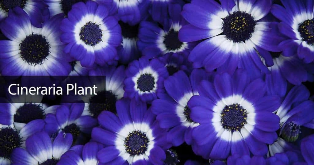 Bright and colorful flowers of the Cineraria plant