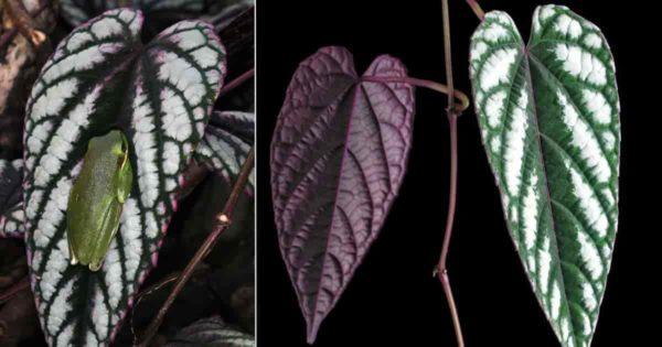 Colorful Cissus Discolor (Rex Begonia vine)