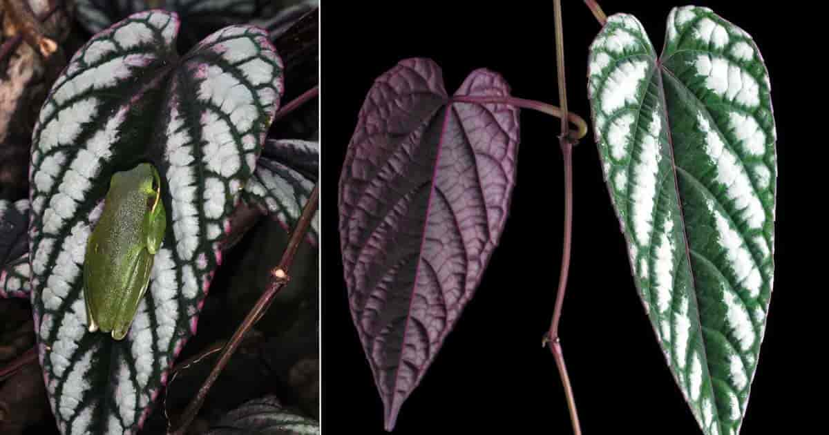 Colorful Cissus Discolor (Rex Begonia vine)