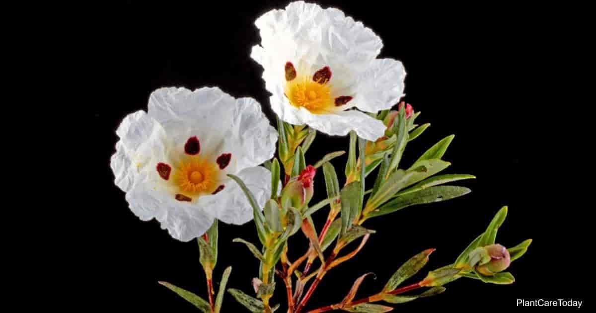 Flowers of the Cistus Ladanifer