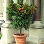 patted citrus tree with fruit in terra cotta pot perfect for a patio