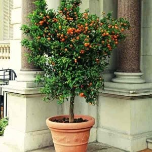 Potted Trees | Small Patio Trees For Outdoor Flower, Fragrance and Patio