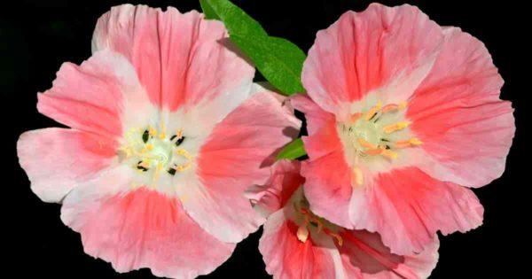 blooms of clarkia wildflowers