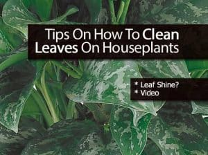 Cleaning houseplant leaves