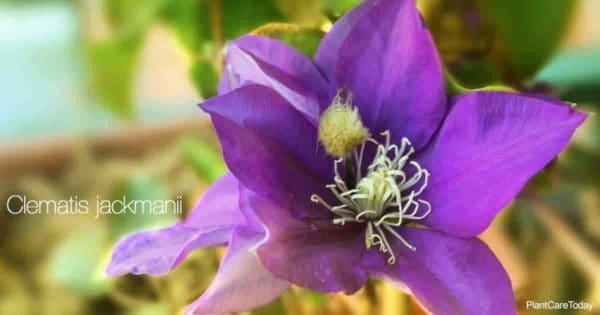 Purple blooms of Clematis Jackmanii