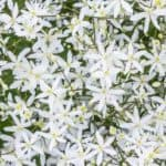 How To Care For Clematis Paniculata Plants