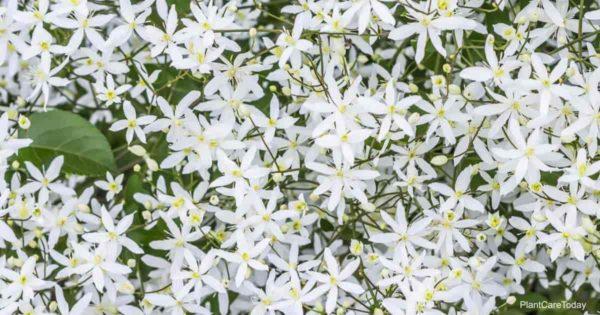 Blooming Clematis paniculata aka (Sweet Autumn Clematis)