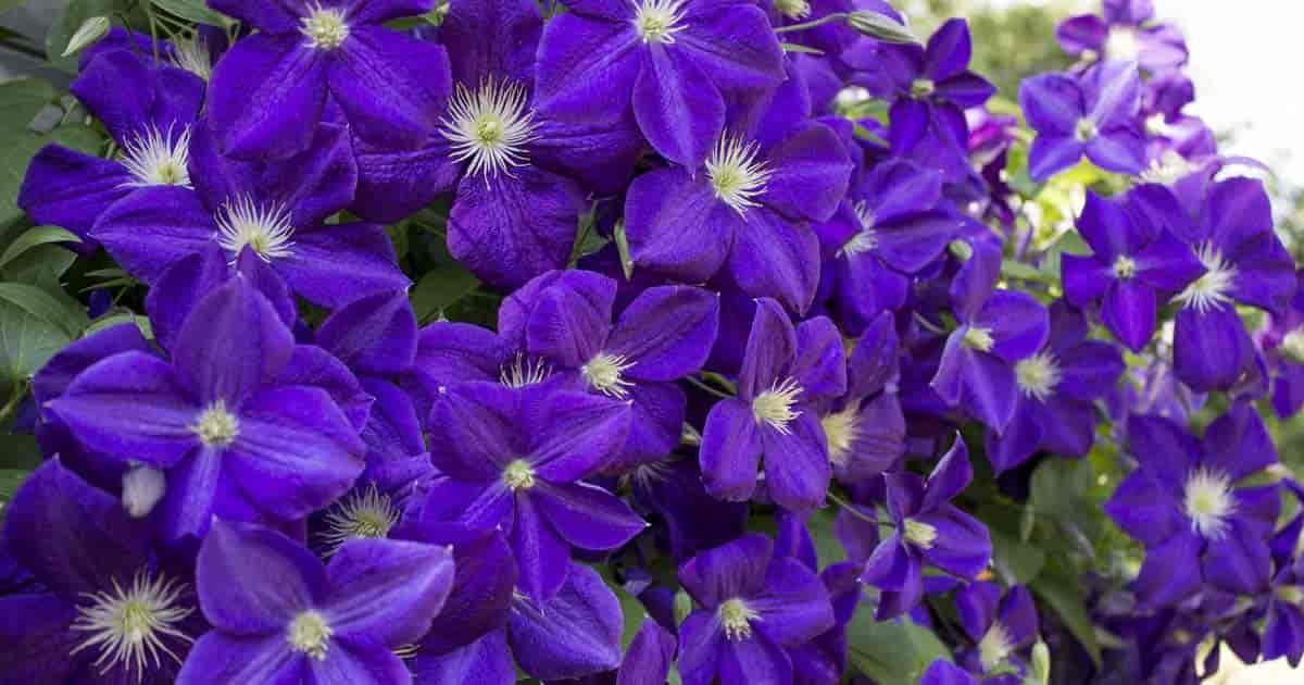 clematis vine flowering purple