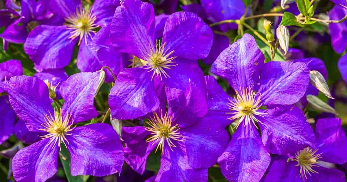 clematis vine multiple purple flower