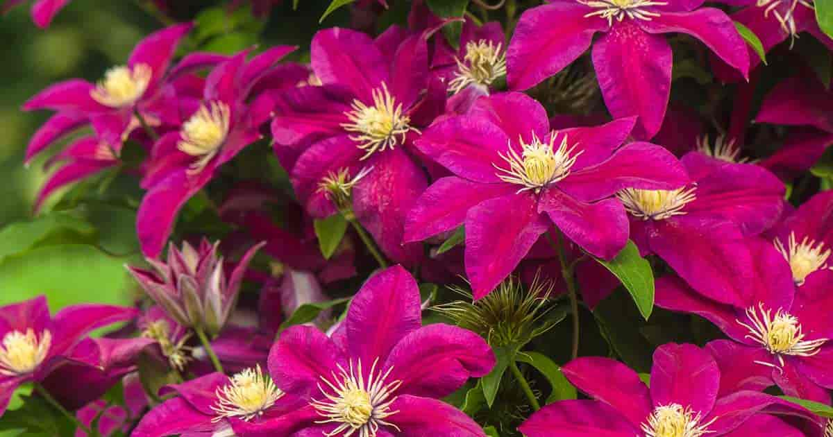 clematis vine multiple rose colored flowers