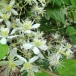 Learn Clematis Virginiana Care Tips