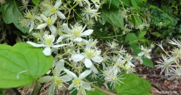 White blooms of Clematis virginiana