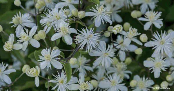 Flowers of Clematis vitalba
