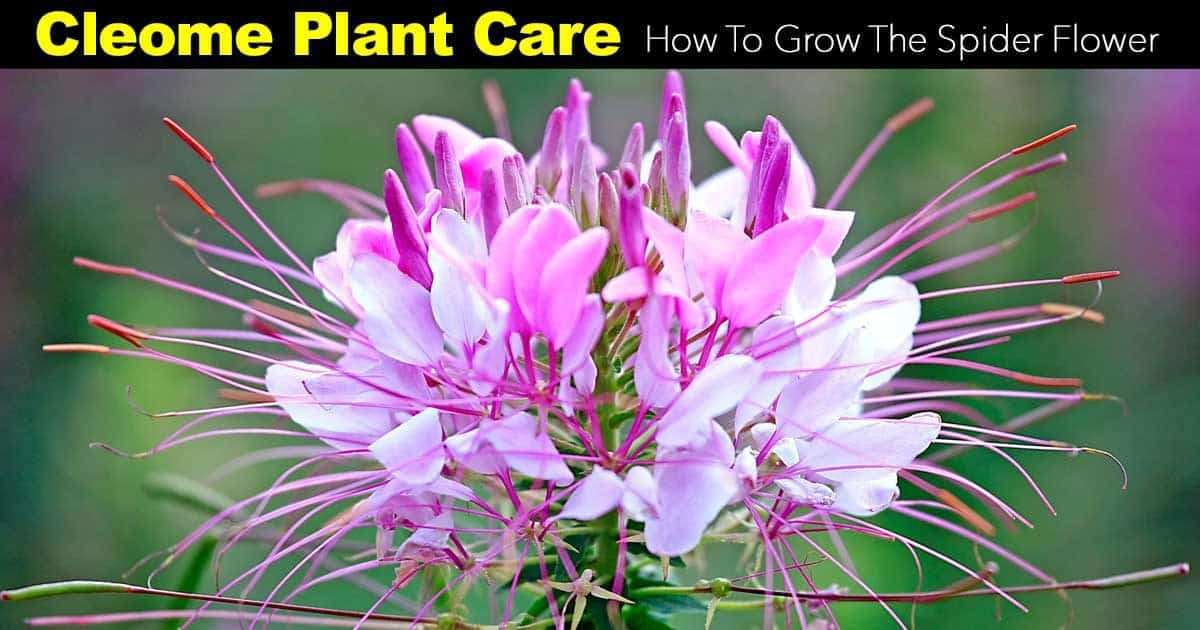 cleome plant caring foe the spider flower