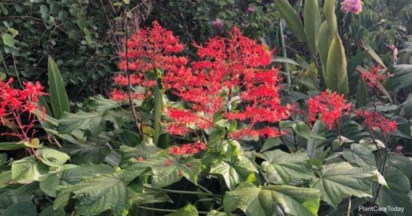 Red blooms of Clerodendrum Paniculatum (pagoda flower) Disney World Orlando, Florida 2019