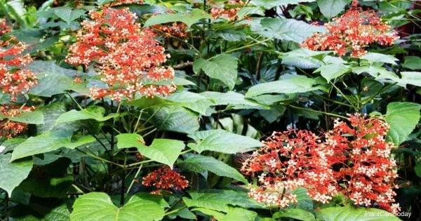 Pagoda Red flowers - Clerodendrum speciosissimum