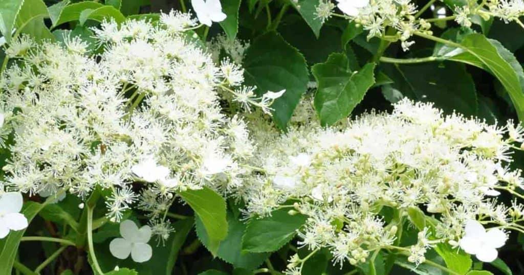 white lace cap flower clusters of the climbing petiolaris Vine