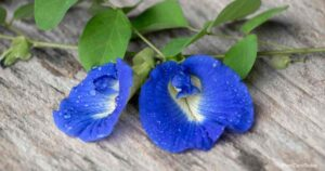 Clitoria Ternatea Care: Growing The Butterfly Pea Plant
