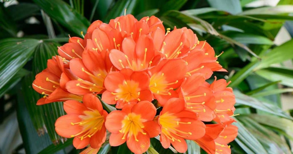 blooming clivia plant
