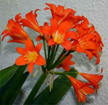 clivia-flowering