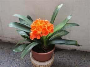 clivia-house-plant