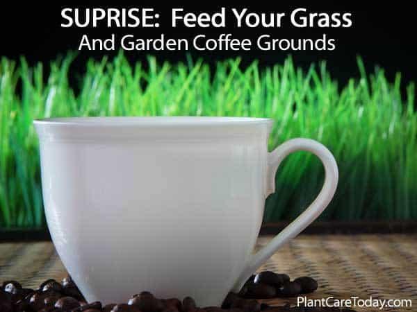 Los granos de café usados son buenos para el césped y el jardín.