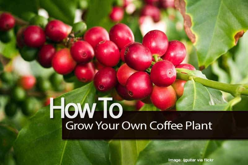 ripe coffee cherries on coffee plant -