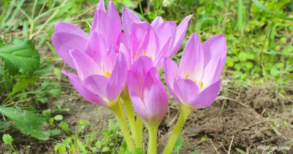 Fall blooming Colchicum Bulbs known as the Autumn Crocus