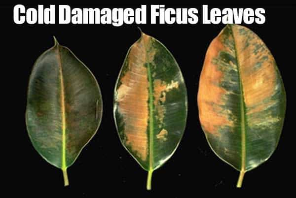 cold-damaged-leaves-ficus-09302015