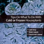 Tips On What To Do With Cold or Frozen Houseplants