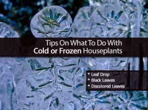 Cold frozen plants