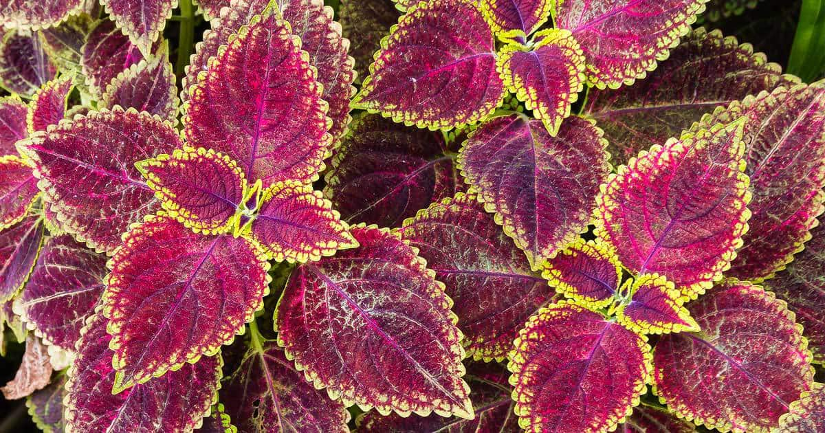 coleus seeds produce a wide array for colorful leaves like these