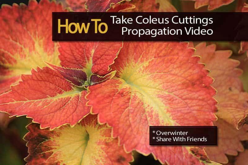 coleus-cuttings-video-112413