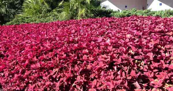 Many Uses For Coleus