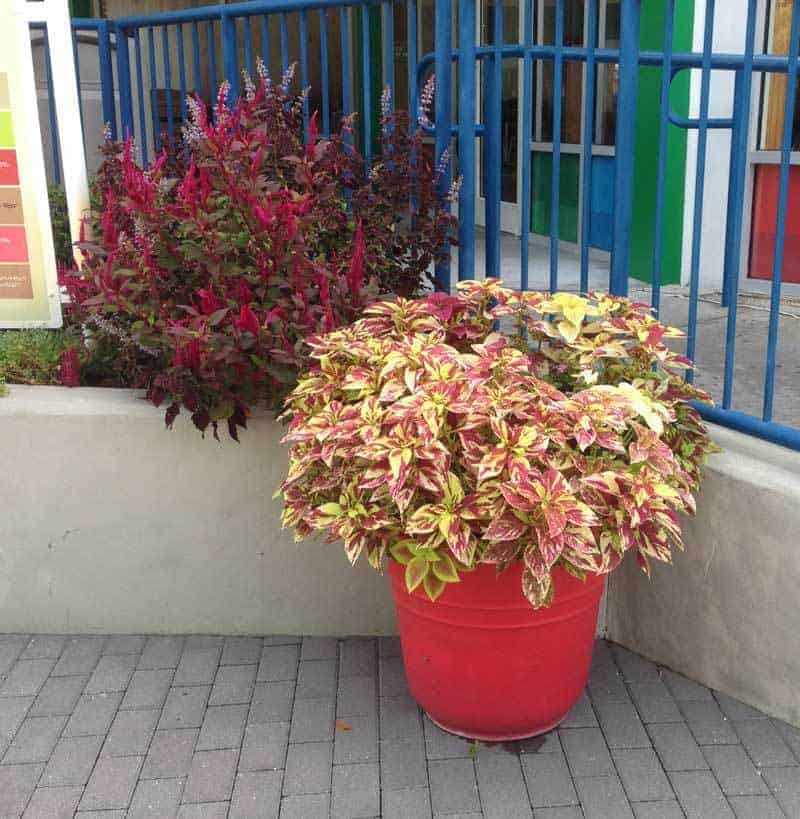 Coleus Plants - [HOW TO] Grow, Care For and Use Colorful Coleus on tall greenhouse plants, mini grow house, portable mini greenhouse for plants,