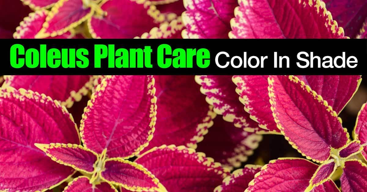 Coleus multi colored leaf plants