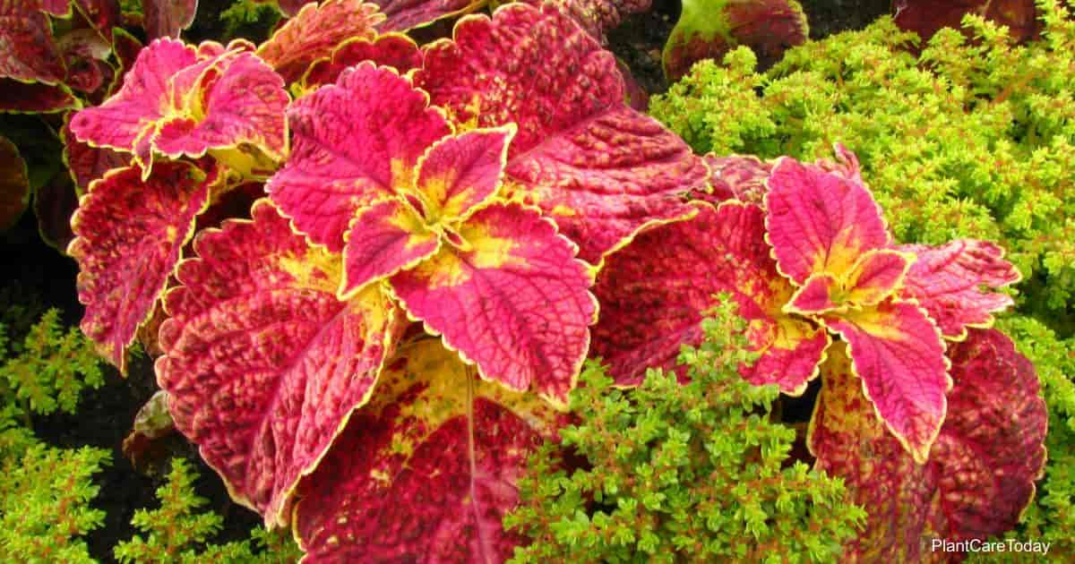 colorful coleus plant some say is poisonous