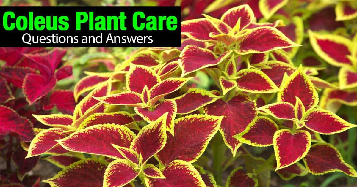 how to grow the colorful coleus plant indoors and out, Beautiful flower