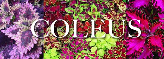 growing colorful coleus from seed