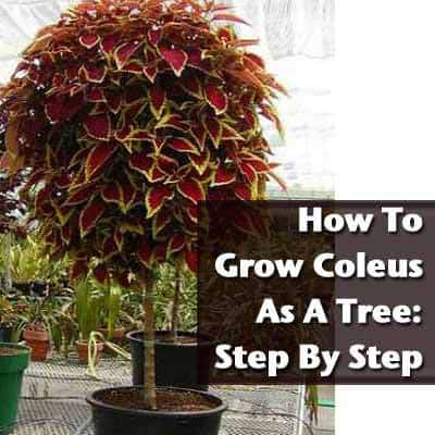 how to grow coleus as a tree  step by step, Natural flower