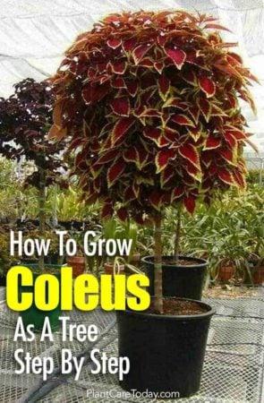 coleus tree