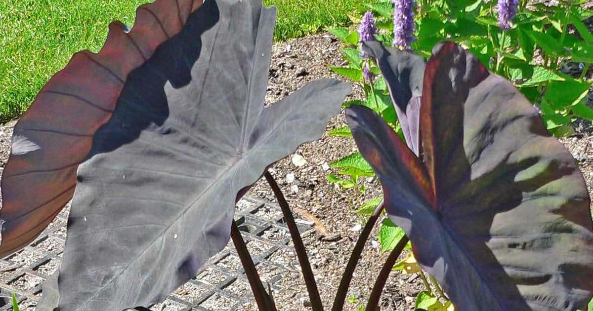 dark leaves of colocasia black magic