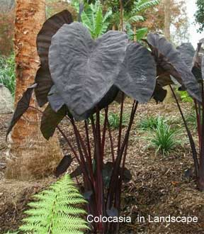 Growing Colocasia Black Magic Black Elephant Ears Plant Care